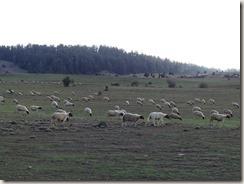 Autour d'Azrou - Route des cèdres (14)