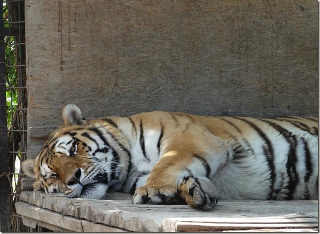 Réserve de tigres (10)