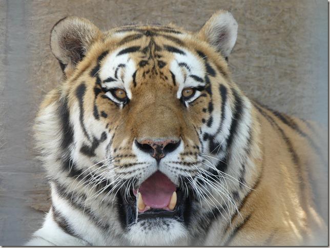 Réserve de tigres (20)