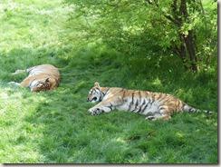 Réserve de tigres (26)