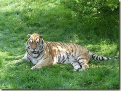 Réserve de tigres (7)