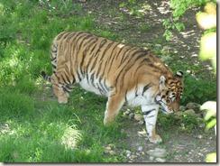 Réserve de tigres (9)