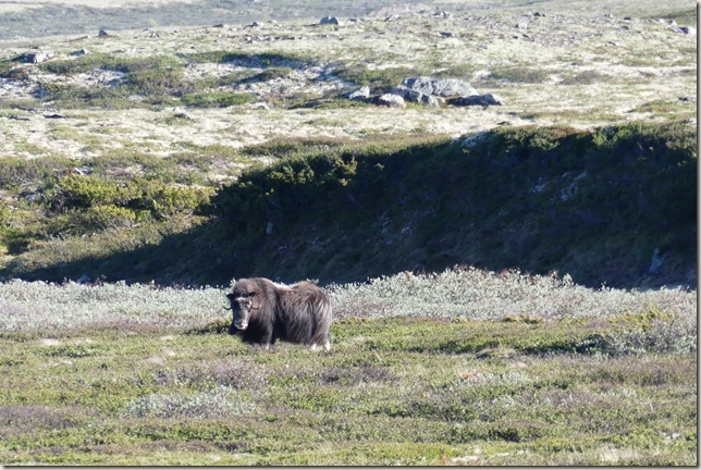Parc National de Dovrefjell (12)