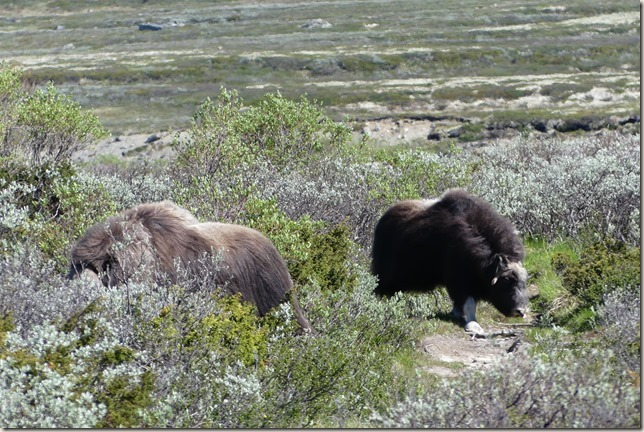 Parc National de Dovrefjell (41)