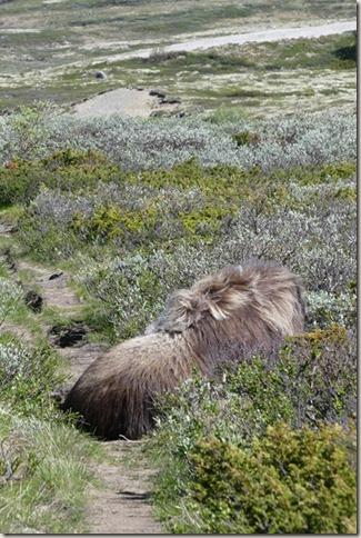 Parc National de Dovrefjell (55)