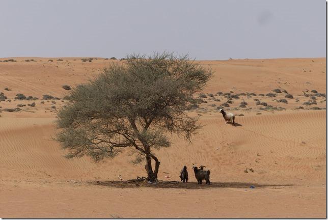 Dans le désert ! (107)