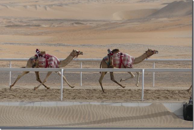 Camel race track (21)