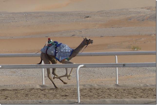 Camel race track (27)