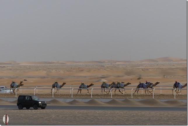 Camel race track (3)