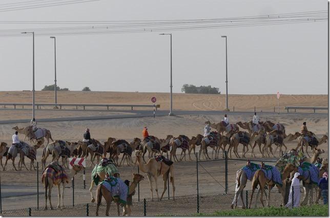 Camel race track (9)