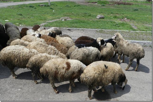Sur-la-route---moutons-1_thumb