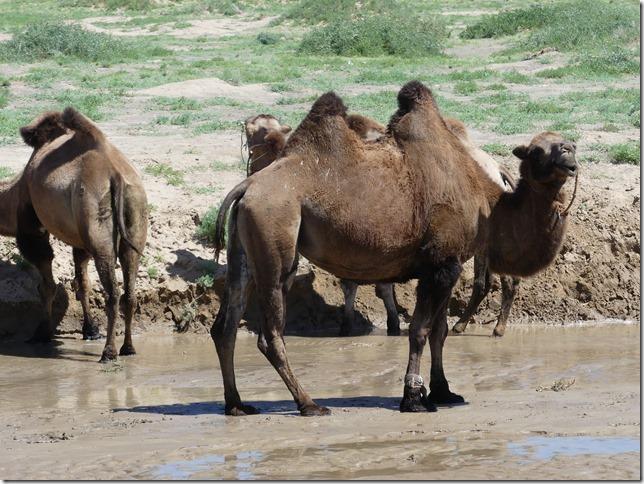 Désert du Gobi - Dunes de Khongoryn Els (206)