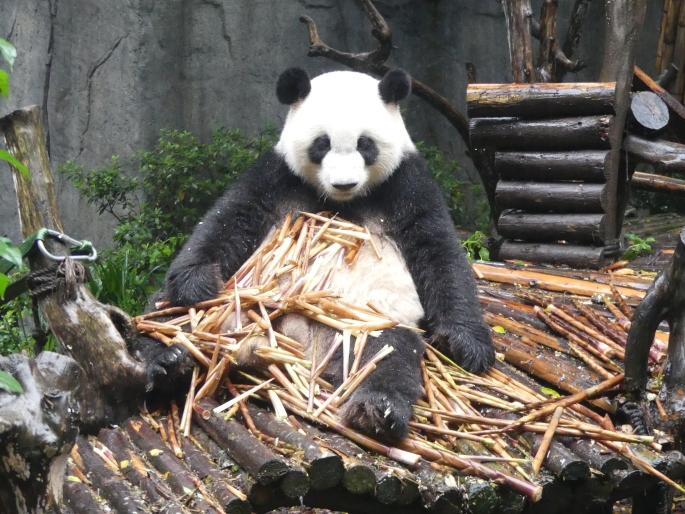 Chengdu - réserve de pandas (45)