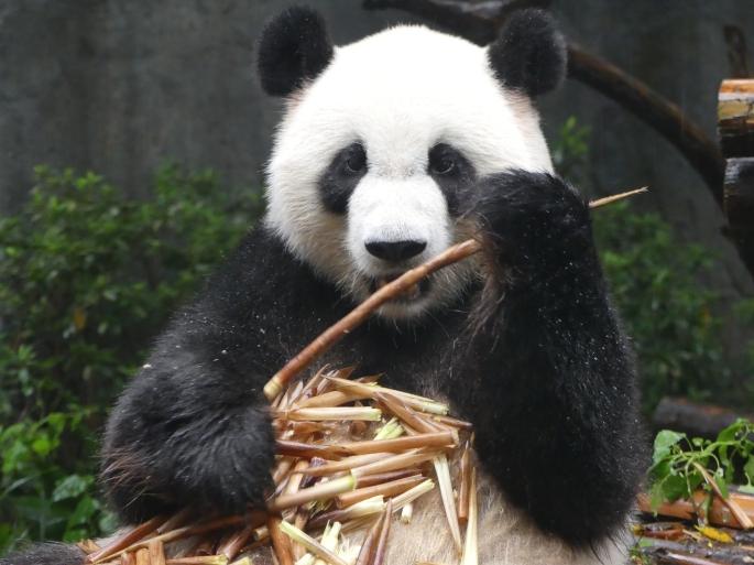 Chengdu - réserve de pandas (48).JPG