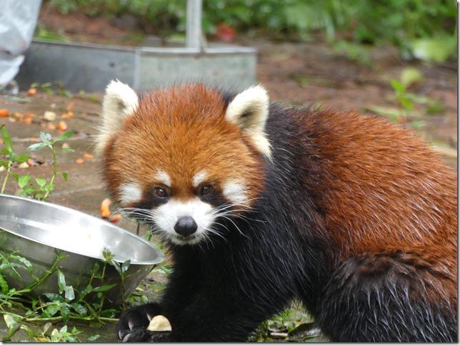 Chengdu - réserve de pandas (101)