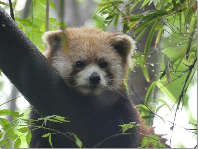 Chengdu - réserve de pandas (108)