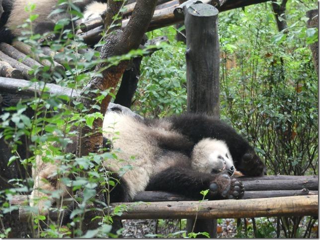 Chengdu - réserve de pandas (116)