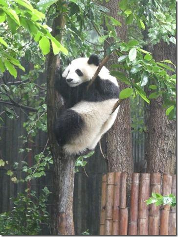 Chengdu - réserve de pandas (14)
