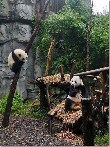 Chengdu - réserve de pandas (38)