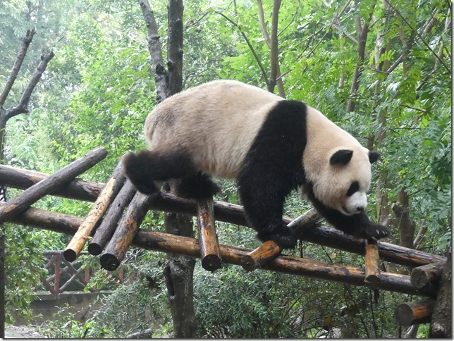 Chengdu - réserve de pandas (56)