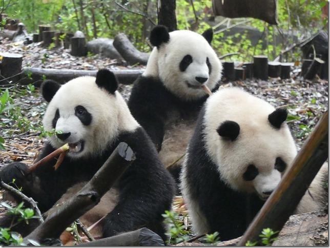 Chengdu - réserve de pandas (5)