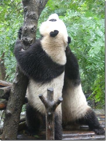 Chengdu - réserve de pandas (61)