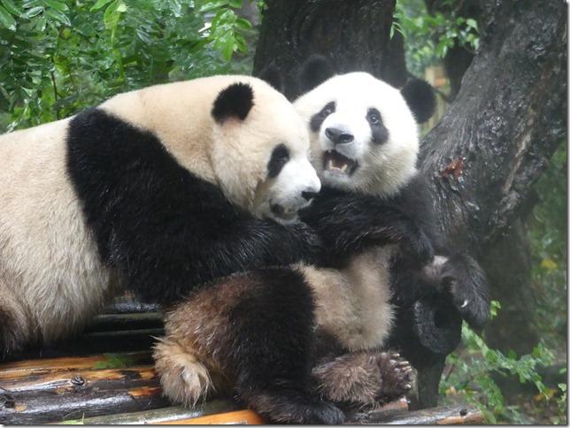 Chengdu - réserve de pandas (65)