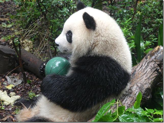 Chengdu - réserve de pandas (68)