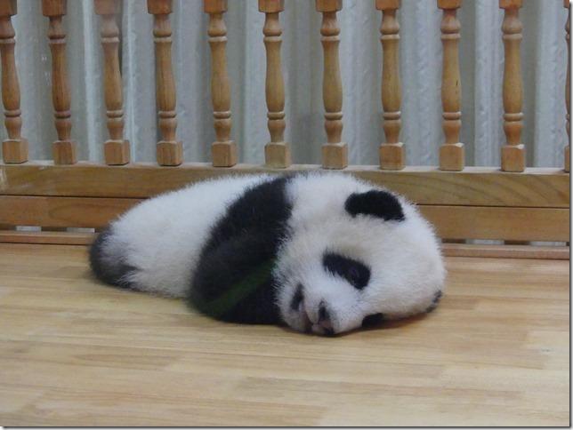 Chengdu - réserve de pandas (76)