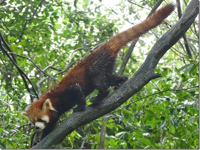 Chengdu - réserve de pandas (88)