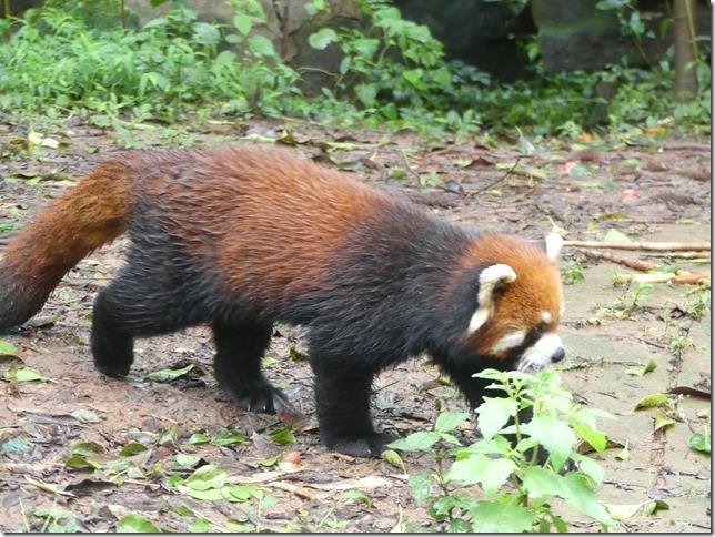 Chengdu - réserve de pandas (90)