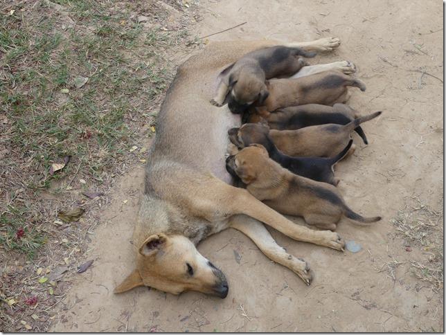 4000 îles - Don Khone - chiens (11)