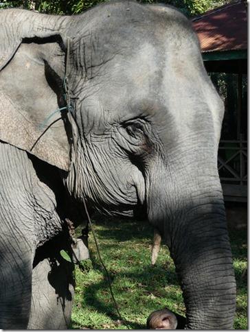 Kiat Ngong Village - éléphant (2)