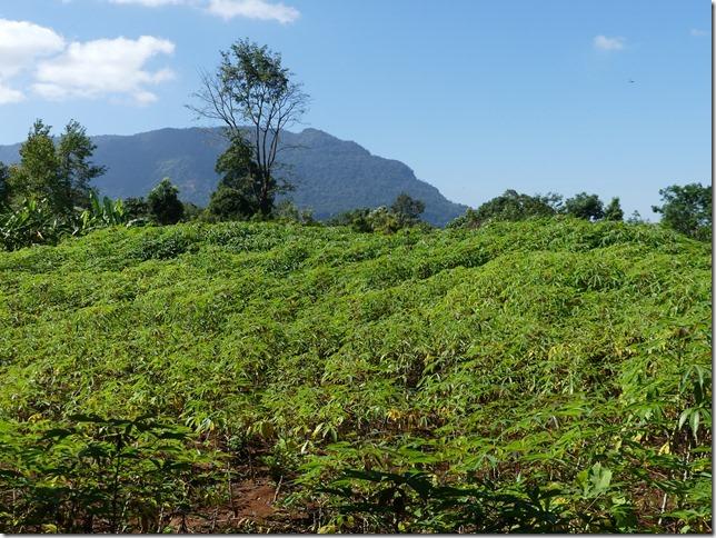 Plateau des Boloven - Kok Phoung Tai, village Katu - Plantation café Captain Hook (7)