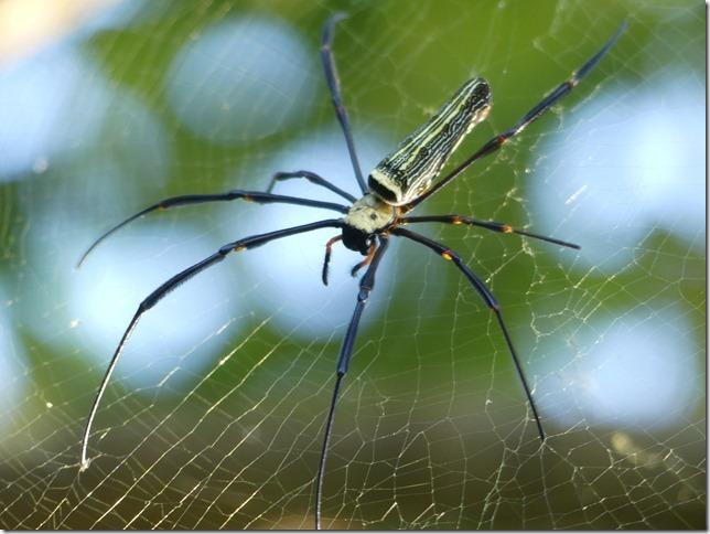 4000 îles - Don Khong Island - araignée (2)