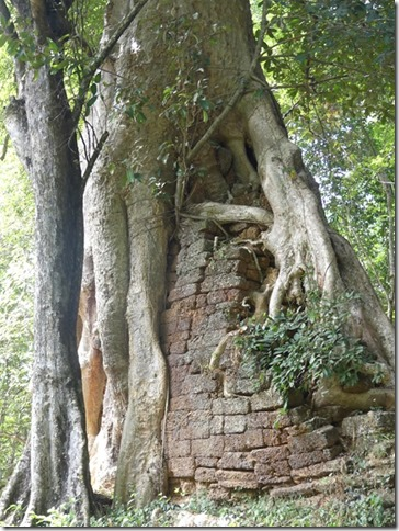 Angkor Tom - Arbres (17)