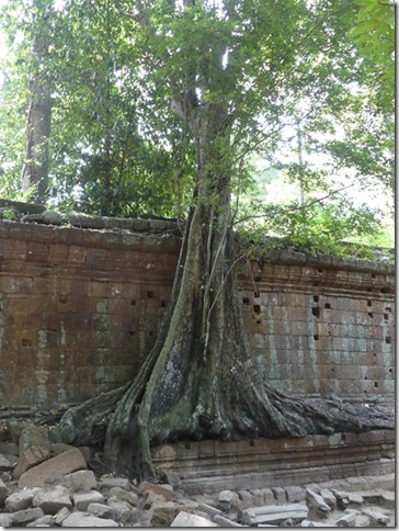 Angkor Tom - Arbres (19)