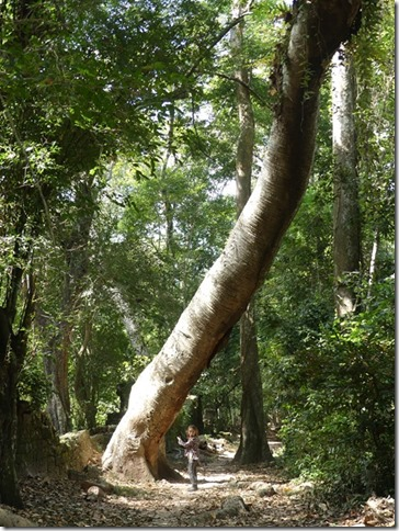 Angkor Tom - Arbres (21)