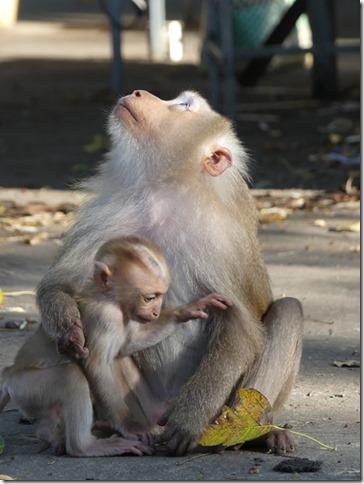 Kompong Cham - Temples aux singes (30)