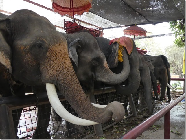 Ayutthayah - éléphants (54)