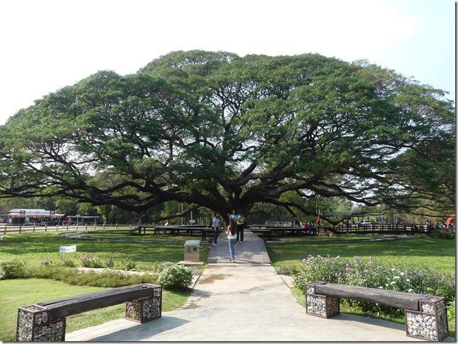 Kanchanaburi - Giant Tree (10)