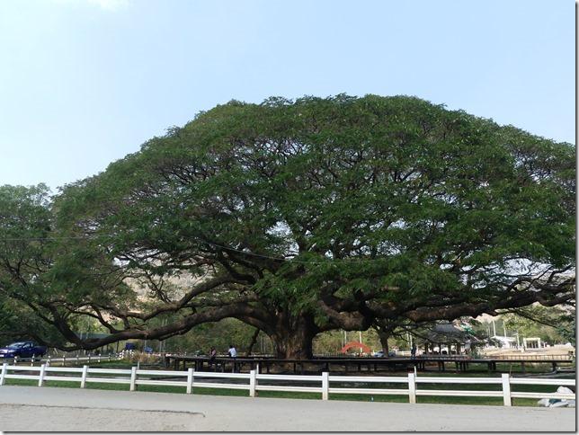 Kanchanaburi - Giant Tree (1)
