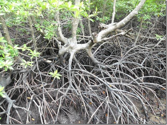 Phuket - mangrove (15)