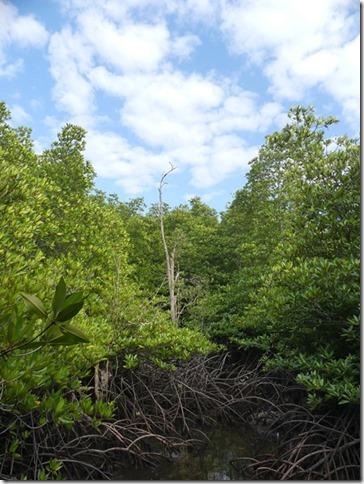 Phuket - mangrove (2)