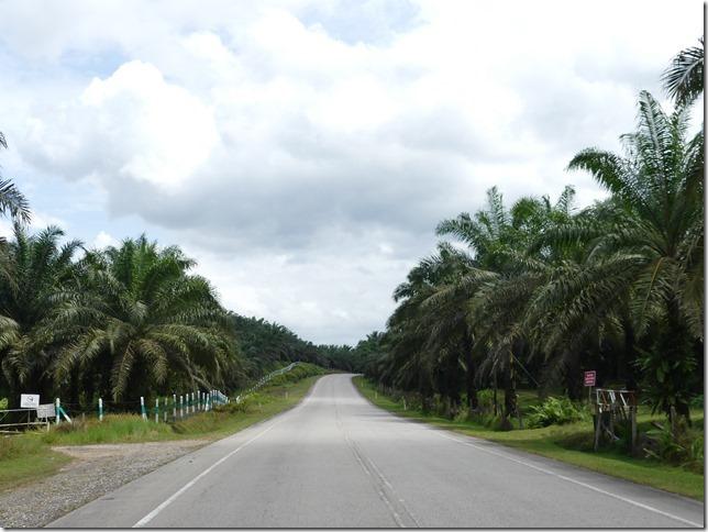 Sur la route - plantations palmiers (5)